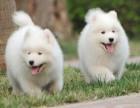 广州哪里买萨摩耶犬 cku赛级高品质萨摩耶犬 签订售后