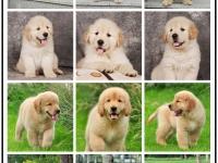 重庆本地犬舍 改行不做,所有犬种低价出售