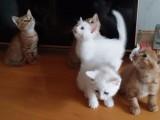 自家猫咪自然繁育的普通家猫 小奶猫出让