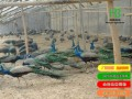 银川大型孔雀养殖场 出售纯种孔雀