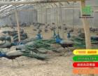 上海孔雀养殖场 上海哪有出售孔雀的
