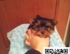 青岛约克夏犬出售信息 纯种约克夏犬价格 纯种约克夏犬图片