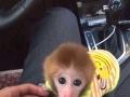 袖珍猴,宠物猴!