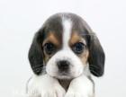 聪明的比格犬只是要寻找好的主人,新生的,很温顺,欢迎咨询