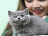南昌猫咪活体活物 英短蓝猫蓝白渐层布偶 便宜好养
