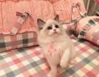 福州哪里有布偶猫卖?布偶猫可以养到多大?