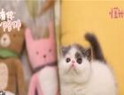 加菲猫出售 还有各种美猫和各类粮食,用品
