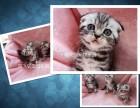 上海广州深圳北京纯种英短猫多少钱 淘宝搜:双飞猫