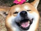 狗年想要旺财就来一条小柴犬 较忠诚的家庭伴侣犬表情包