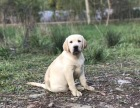 导盲犬拉布拉多时刻给你带来安全感的寻回犬 懂你的犬