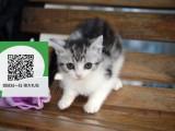 绵阳哪里卖蓝猫便宜 绵阳哪里卖蓝猫 绵阳哪里买蓝猫