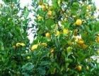 花卉 园艺 园林 花木场 果木场 柠檬 桃李树