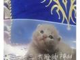 出售纯种精品美国短毛猫 英国短毛猫蓝猫