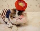 上海哪里的加菲猫较便宜多少钱一只 上海哪里有几百块钱加菲猫