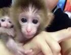 纯种袖珍石猴,宠物猴,拇指猴