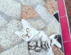 美短小猫接预订