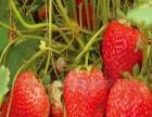 石埠子草莓 石埠子草莓诚邀加盟