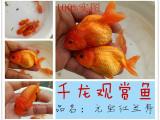 扬州千龙观赏鱼养殖基地 一批精品金鱼热销中
