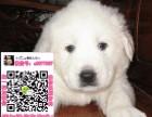 重庆大白熊犬领养赠养价格 巨型大白熊宠物狗转让买卖交易
