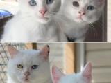 安阳斯芬克斯无毛猫卖 纯种幼猫