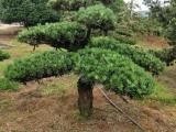 精致罗汉松盆景造型造型罗汉松 多少钱一棵
