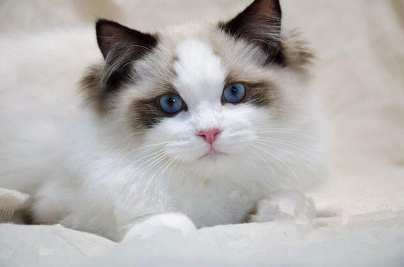温州哪哪里有布偶猫卖 海豹双色重点手套均有CFA认可多只可挑