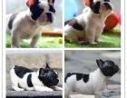 犬舍繁殖小方体法牛犬 英国斗牛犬 大鼻筋螺旋尾