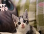自家猫舍繁殖精品英短 美短 折耳猫 多只在售签协议