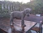 西双版纳大丹犬专业养殖基地出售签证包活送货上门
