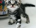 免疫驱虫已做签正规合同赠送礼包 出售 美短 英短 渐层猫咪