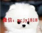 哈多利球型博美幼犬是很雪白,小狗毛量很足