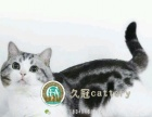 CFA注册猫舍 专业繁育高品质美短 异国短毛加菲猫