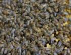 农村自产自销,纯正蜂蜜,巢蜜