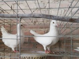 哪里有养殖鸽子的