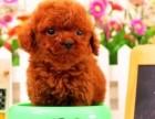 虹口区哪有泰迪犬卖 虹口区泰迪犬价格 虹口区泰迪犬多少钱