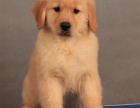 上海 纯种金毛幼犬 疫苗齐全出售中 可签协议健康保障