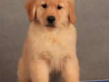 鄭州出售 純種金毛幼犬 狗狗出售 可簽協議健康保障