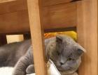 刚出生的两窝一个月小蓝猫 蓝白猫,喜欢的留言