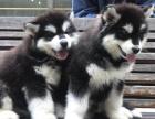 巨型熊版灰色桃脸阿拉斯加犬 可当面测试健康签合同
