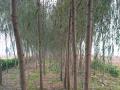 低价处理8-12金丝垂柳等绿化苗木