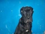 济宁卡斯罗幼犬出售 卡斯罗犬价格 哪里有卖卡斯罗犬的