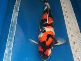 朝陽養殖廠直銷各類觀賞魚 送貨到家