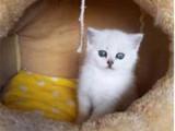 湖北黄冈英短银渐层小猫咪多少钱一只