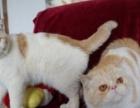 波斯猫----多窝选择---送礼包