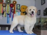 出售高品质金毛犬 大骨架武汉地区可包邮质量高保健康