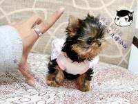 专业繁殖饲养超小体迷你狗--约克夏 真正的茶杯犬约克夏