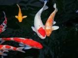 北京養殖廠直銷各類觀賞魚 送貨到家