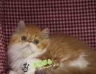 黄白净梵波斯猫梵文幼猫cfa家庭猫舍活体幼猫宠物猫