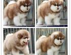 哪里有卖纯种巨型熊版阿拉雪橇犬 保纯血 签协议