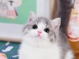 曼基康矮脚猫美短起司短腿猫英短蓝白拿破仑